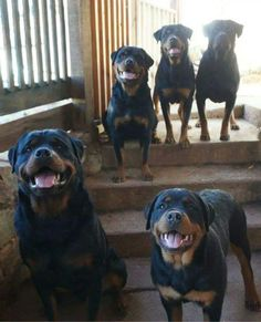 These belong to a different person in a Rottweiler group I am part of on FB. She actually has 6 but one was in the house.  :) ♡