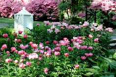 peony garden, we have some of these in pink and white, but I'm thinking about adding more...