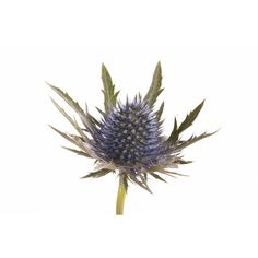 Designs For Garden Flower Beds Blue Eryngium Thistle Navy Flowers, Wild Flowers, Types Of Thistle, Thistle Tattoo, October Flowers, Sea Holly, Thistle Flower, Baby Tattoos, Flower Tattoos
