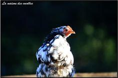 photographie bastian alix poule bantam de pékin