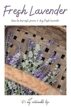 Growing lavender is a joy. Knowing when the best time to harvest, prune, cut it back, and dry it is a skill any grower will want to know.