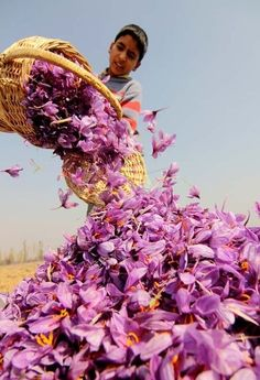 INDIA:  SAFRON - Harvesting Saffron. 75 000 flowers to make a pound of saffron in India