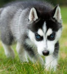 black husky puppy