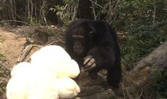 'World's Loneliest Chimp,' Abandoned On A Small Island, Gets Cuddly Teddy Bear