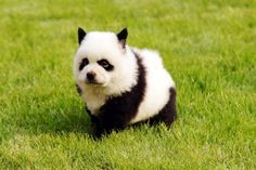 For some odd reason today we've had a strange infatuation with pandas. That's why we put together this list of 10 dogs that look like pandas. note — There& nothing odd about being infatuated with pandas, especially when they& dogs in disguise. Panda Puppy, Panda Bear, Tiny Panda, Cute Puppies, Dogs And Puppies, Cute Dogs, Doggies, Baby Animals, Funny Animals