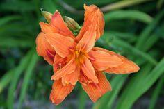 #Hemerocallis in my #Garden, https://uk.pinterest.com/annbri/