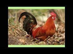 liedje tok tok tok ik ben een kip - YouTube