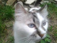 Patela sau rotula dislocata la pisici cu ligamente...