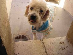 OPCA Shelter Network Alliance · Phoenix, AZ ~ Animal ID #A3563139 Maricopa County Animal Care & Control West Valley Animal Care Center ‒ I am a Female, White Miniature Poodle mix. The shelter thinks I am about 2 years old. Maricopa County Animal Care & Control West Valley Animal Care Center ‒ (602) 506-7387 https://www.facebook.com/OPCA.Shelter.Network.Alliance/photos/pb.481296865284684.-2207520000.1422312736./765379006876467/?type=3&theater