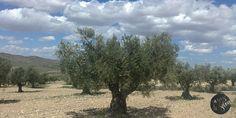 """Olivos Centenarios Desde la Sierra de Salinas, al fondo la Hoya del Mollidar - Yecla (Murcia) """"El Fruto de Una Joya de La Naturaleza""""  #AOVE #ecológico #EVOO #Organic #Spain"""