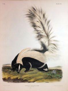 Large Tailed Skunk, Plate 102. John James Audubon (1785 - 1851). Philadelphia: J.T. Bowen, 1839 - 1844.