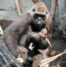 172 Besten Affen Bilder Auf Pinterest In 2019 Monkeys Cutest