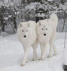 White Wolfs