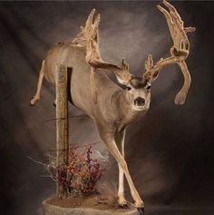 There is simply nothing like a cool mount for that big buck. Here are seven creative deer mounts to inspire you when you score your next trophy. Taxidermy Display, Deer Hunting, Hunting Decal, Deer Camp, Hunting Stuff, Deer Mounts, Deer Family, Mule Deer, Deer Antlers
