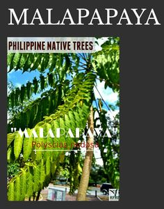 """MALAPAPAYA (Polyscias nodosa) Observations in typhoon-prone areas: Malapapaya tree branches out to resist strong winds & heavy rains! """"Protect our trees, our forests- our source of life!"""" Visit our website: www.rainforestation.ph Articles about this tree: Sanchez, D. PCARRD establishes malapapaya farm. 24 February 2008. Philippine Star. Philippine Star, Forest Plants, Strong Wind, Wood Tree, Flowering Trees, Botany, Tree Branches, Landscape Architecture, Trees To Plant"""