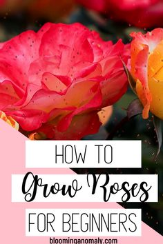 Learn how to grow roses no matter how long you have been gardening. There are many types of roses you can grow, no matter where you live. Click on the pin for more information about types of roses and how to care for them. #roses #growroses #rosegarden #flowergarden Beautiful Flowers Garden, Amazing Flowers, Gardening For Beginners, Gardening Tips, Floribunda Roses, Rose Care, Types Of Roses, Growing Roses, Hybrid Tea Roses
