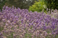 I recommend planting lavender in abundance because it has so many uses, including as an infused vinegar that works as a facial toner, hair rinse and all-pu