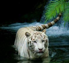 Siberan tiger