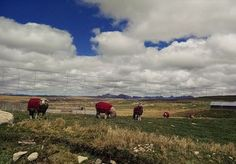 Ovejitas abrigadas en San pedro de Racco - Cerro de Pasco.  #nubes #cielo #naturaleza #montañas #peru #lubelperu