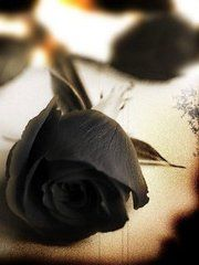 1000 images about black rose on pinterest black roses for Do black roses really exist