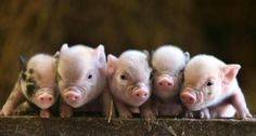 Baby oinks!
