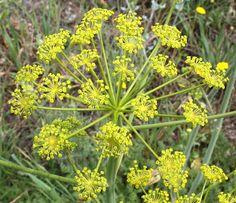 Plantas: Beleza e Diversidade: Rabaça-fedorenta (Elaeoselinum foetidum)