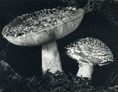 Edward Weston • Toadstool 1936