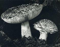 Edward Weston • Toadstool 1936