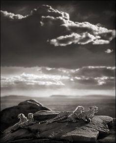 Nick Brandt Photography, CHEETAH & CUBS LYING ON ROCK, SERENGETI, 2007