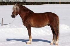 Finnhorse - stallion Kiviojan Raisu