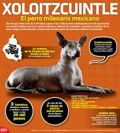 """#SabíasQue la palabra Xoloitzcuintle proviene de náhuatl Xólotl: dios del ocaso e itzcuintli: perro """"Perro del Xólotl""""."""