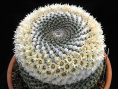 "Mammillaria hahniana cv. ""Albiflora""  22"