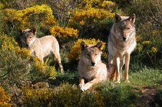 Visite du parc à loups du Gévaudan : les loups de Mongolie