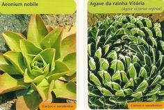 Vida Suculenta: Duas plantas por dia - Aeonium nobile e Agave da Rainha Vitoria