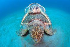 A pair of endangered Loggerhead Sea Turtles, Caretta caretta, mate on the surface offshore Juno Beach, Florida, United States. Underwater Creatures, Ocean Creatures, Sea Turtle Wallpaper, Loggerhead Turtle, Juno Beach, Turtle Love, Reptiles And Amphibians, Sea Turtles, Endangered Species