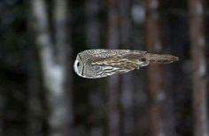 Owl in flight!