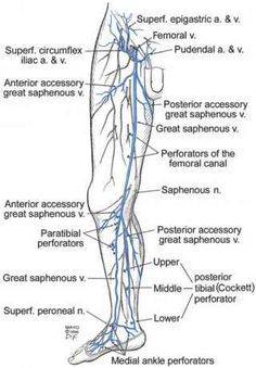 Anatomy Of The Lower Extremity Veins - Varicose Veins Leg Vein Anatomy, Deep Fascia, Clean Lungs, Subcutaneous Tissue, Vascular Disease, Lower Abdomen, Thigh Muscles, Physical Therapy, Culture