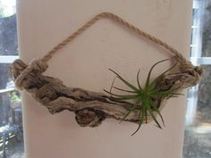 "Twisty Driftwood Air Plant Hanging Floating Shelf Holder ""Nautical Style"" - All For Herbs And Plants Driftwood Coffee Table, Driftwood Shelf, Driftwood Furniture, Driftwood Projects, Driftwood Ideas, Shelf Holders, Plant Holders, Nautical Fashion, Nautical Style"