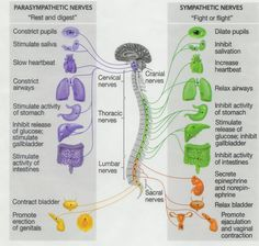 parasympathetic nerves vs. sympathetic nerves chart