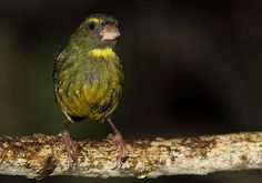 Male Forest Canary