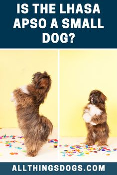 The Lhasa Apso size can be classified as small, as they typically stand between 10 and 11 inches tall. Females are slightly more petite than males, but both sexes will weigh between 12 and 18 pounds. Read on for more details.  #lhasapso #lhasapsosize #beardedliondog Lhasa Apso Puppies, Boxer Puppies, Boxer Mix, Bichon Frise, Miniature Dog Breeds, Cute Dogs Breeds, Teacup Chihuahua, Shih Tzu Dog, Labrador Retriever Dog