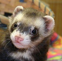 Rescue ferret, Dargo. http://www.pinterest.com/Mertree/ferrets/