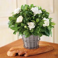 El cultivo de gardenias en maceta es una buena solución cuando no dispones de un jardín o vives en un lugar donde los inviernos son fríos. La gardenia es un arbusto de origen chino que produce una …