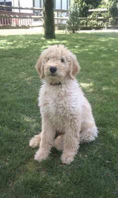 Miller - Brewer's Goldendoodles