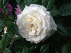 Valkoinen ruusu