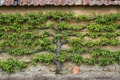 espalier fruit trees - pear