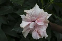 Lovely pink flower at the Lednice-Valtice conservatory.