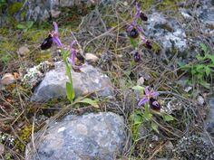 Orphrys ferrum-equinum - Insel Chios