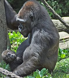 Ape: Mamma Gorilla & Her Baby