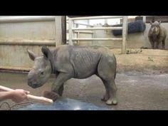 Cute Baby Rhino From Cleveland Metroparks Zoo...Lady is enjoying with Baby #Rhino  #funnyanimalvideo #funwithanimal #animalfunvideo